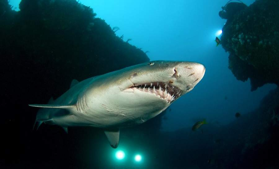 Raggedtooth Shark