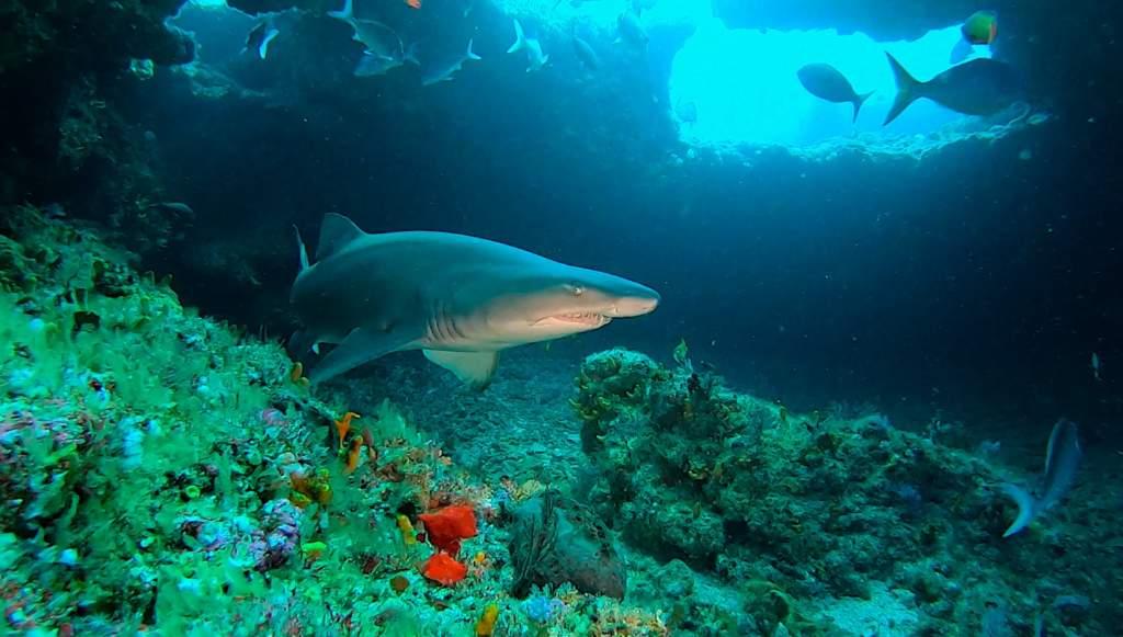 Raggedtooth Shark