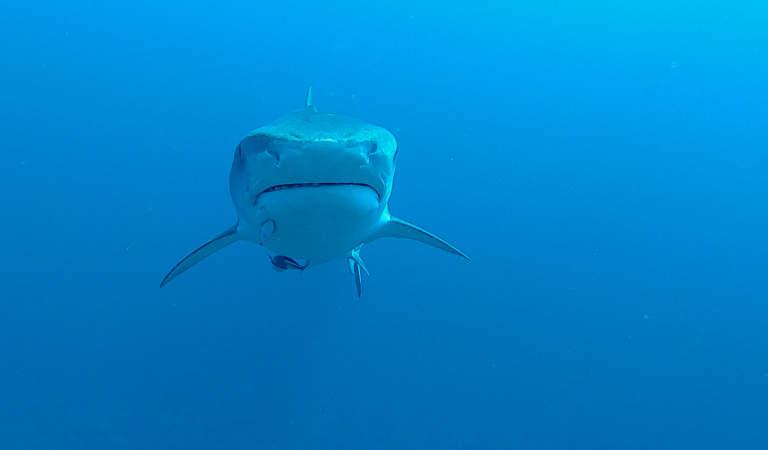 Tiger Shark on Protea Banks