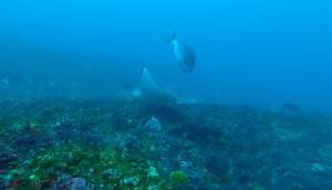 Eagle Ray on Protea Banks
