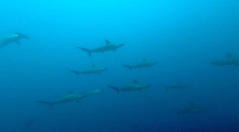 Hammerheads on Protea Banks