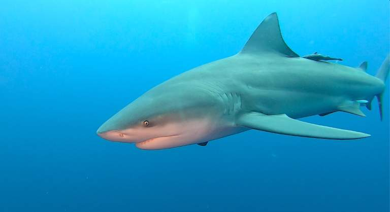 Bull Shark Protea Banks