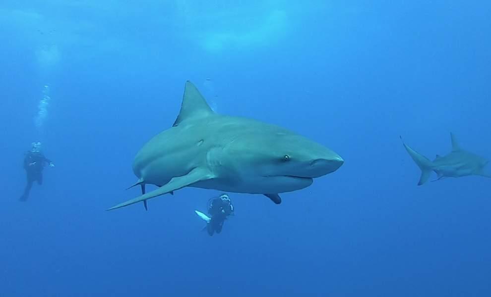 Bull Shark on Protea banks
