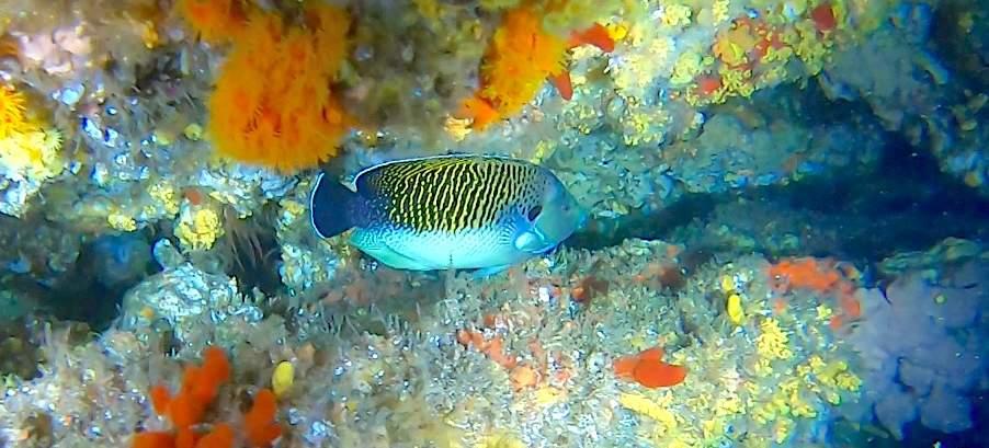 Tiger Angel Fish