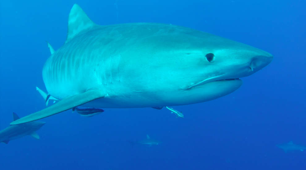 Tiger Shark on Protea Banks