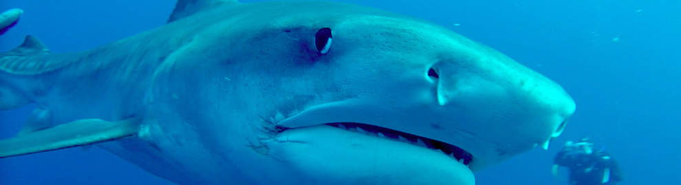 Dive with us and be ultimately close to Tiger Sharks