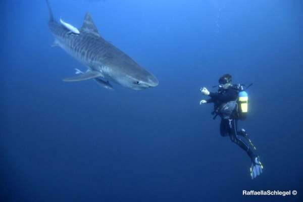 dive-with-sharks-sharkdiving-proteabanks-015