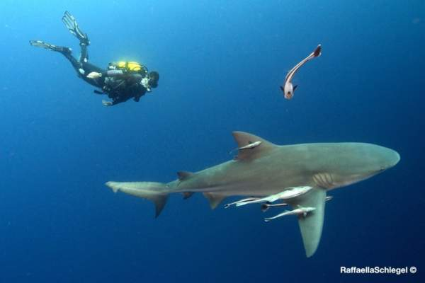 dive-with-sharks-sharkdiving-proteabanks-031