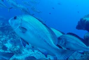 dive-with-sharks-sharkdiving-proteabanks-rebreather-10